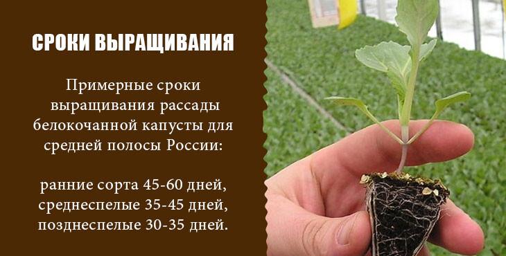 сев семян капусты на рассаду