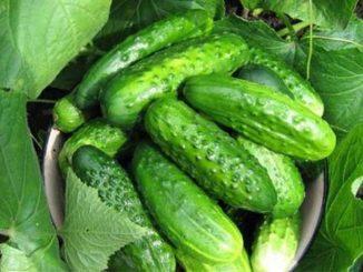 огурцы. повышение урожайности