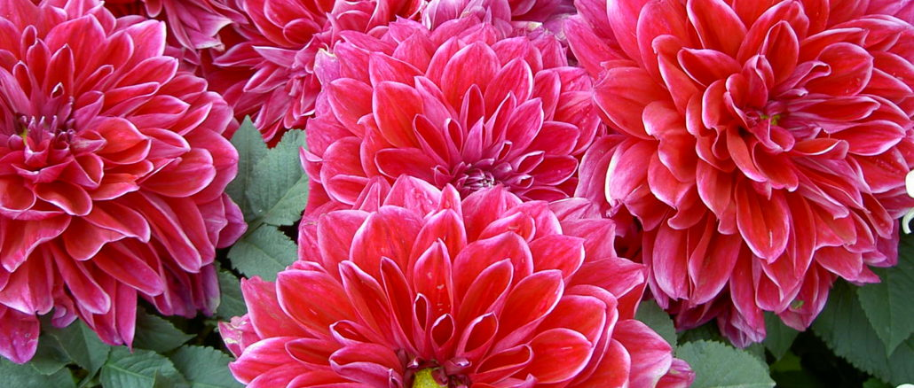 georgina-v-zvetu