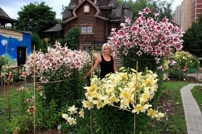 Лилии гиганты