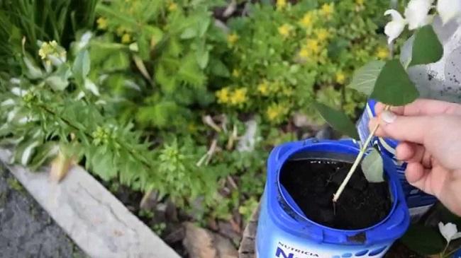 Размножение чебушника
