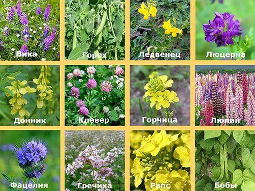 Растения сидераты список