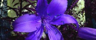 Синяя лилия