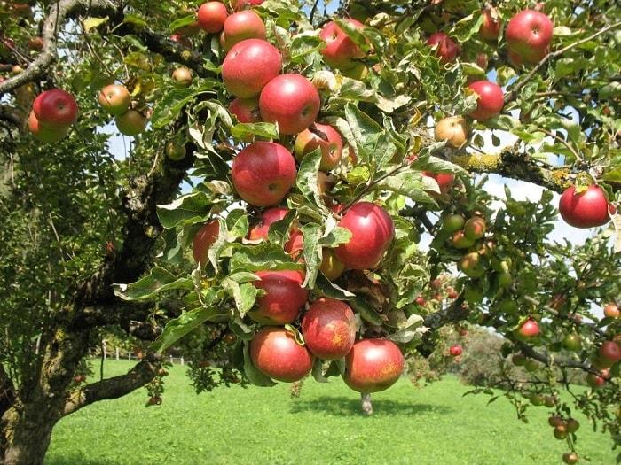 Крона яблоневого дерева