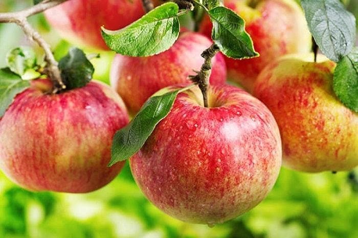 выбор сорта яблони для посадки